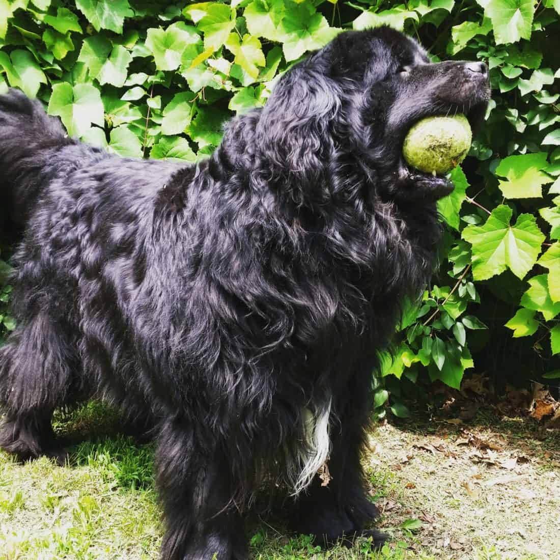 Black dog with tennis ball in mouth.