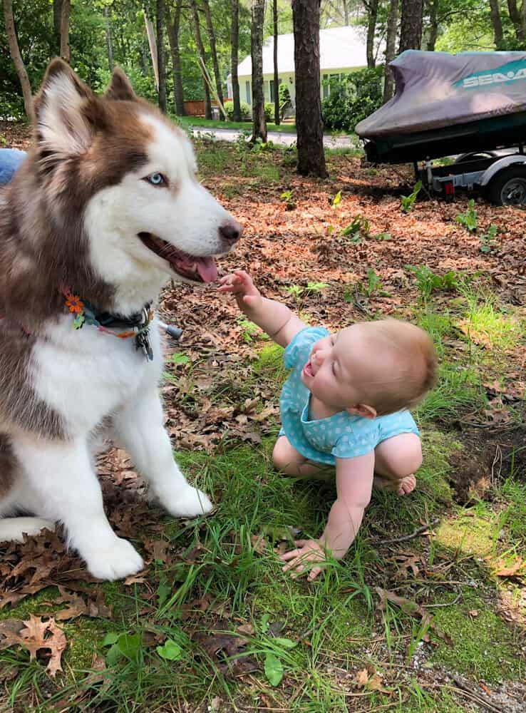 Baby petting husky
