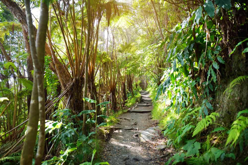 tropical hiking trail in Volcanoes National Park Hawaii
