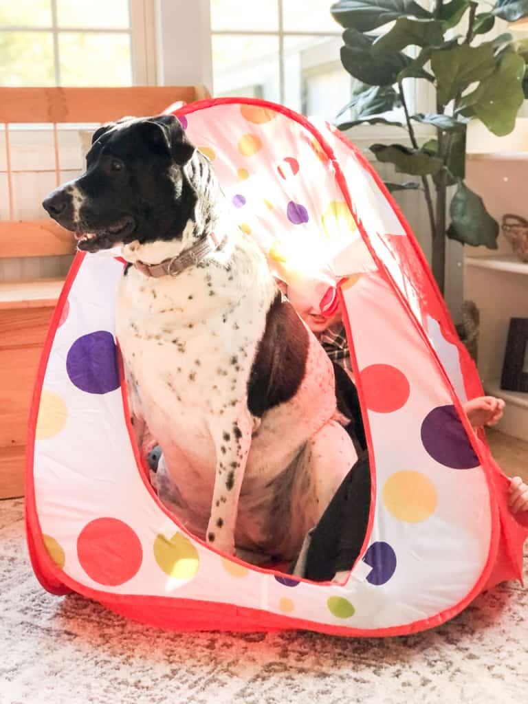 pointer mix rescue dog in kids play tent